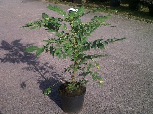 Mahonia 'Media Charity' from a garden centre, approx 2ft (60cm) tall in 5l pot