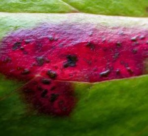 Mahonia rust which effects Mahonias but is treatable using a fungus garden spray