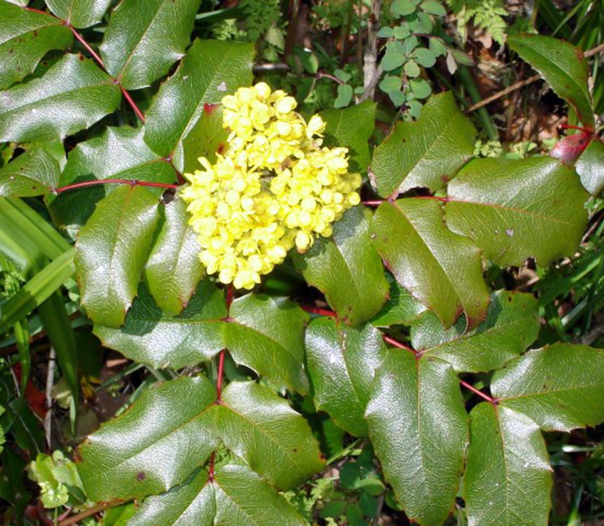 Mahonia Shrubs Advice For Pruning Care Planting