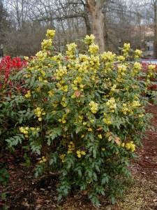 Established Mahonia Aquifolium bush in flower. Produces yellow flowers in late season
